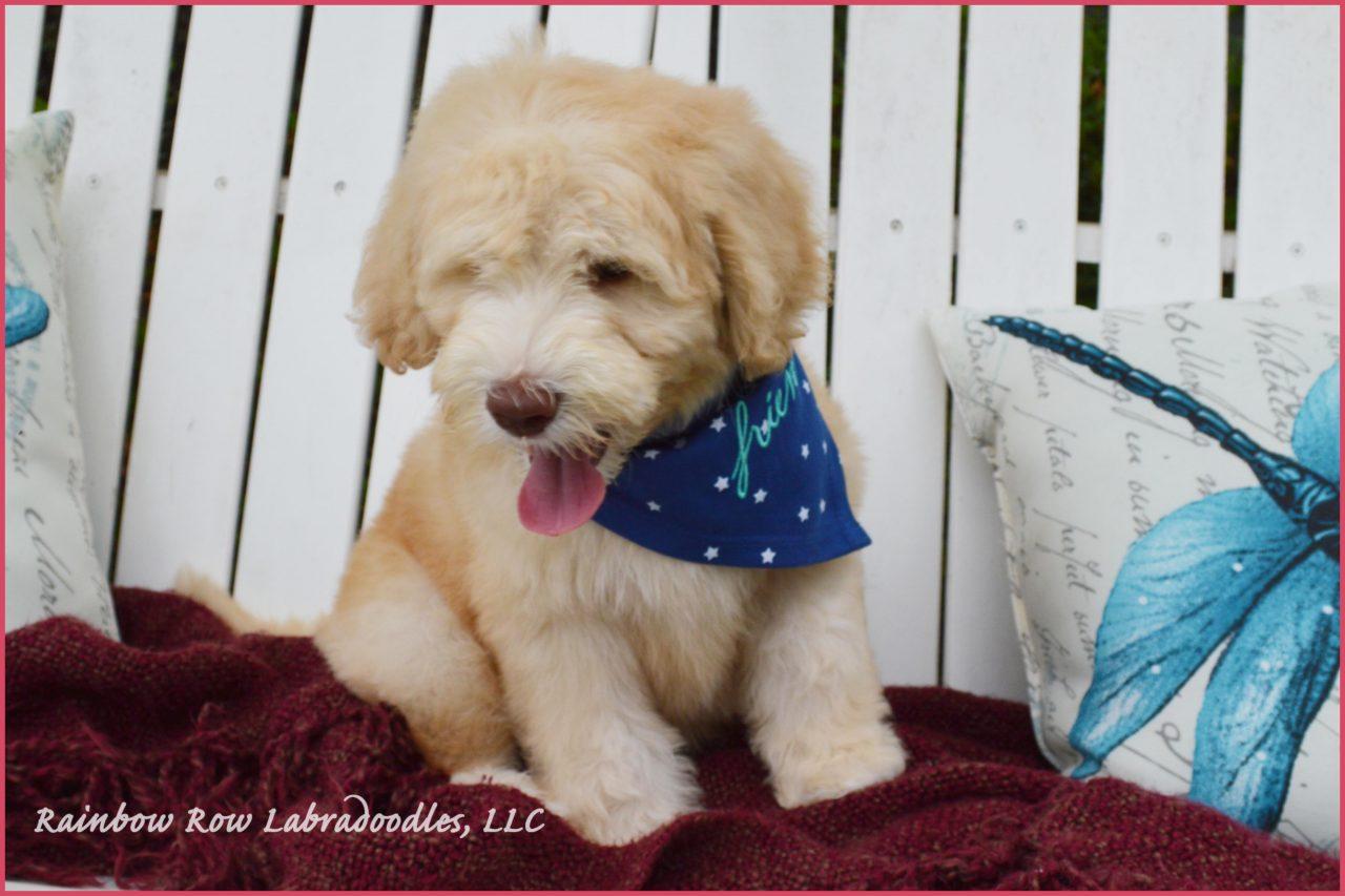 Florida, Georgia, South Carolina, Charleston, Atlanta, East Coast, Breeder, Australian Labradoodle Puppy for sale, puppies for sale, Ant Hill Photography