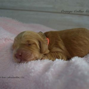 Orange newborn Millie and Artie 1