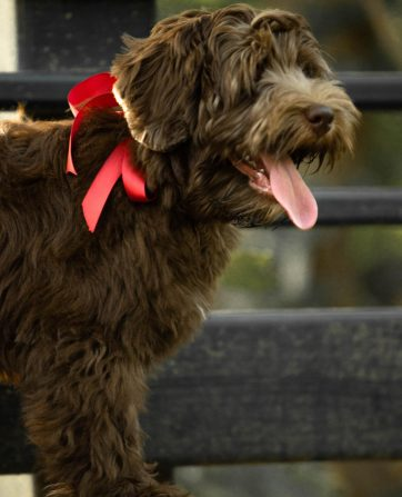 Breeding Dogs for Sale Copy