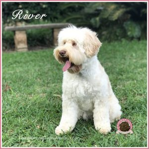 •Hips- Good, Elbows- Normal •VwD- Clear by Parentage •Eye Cerf- Normal •EIC- Clear by Parentage •PRA, PRCD- Clear By Parentage •Improper Coat- Clear By Parentage •Caramel •Height 15.5 inches, Weight 20 pounds