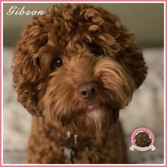 Gibson face sq web